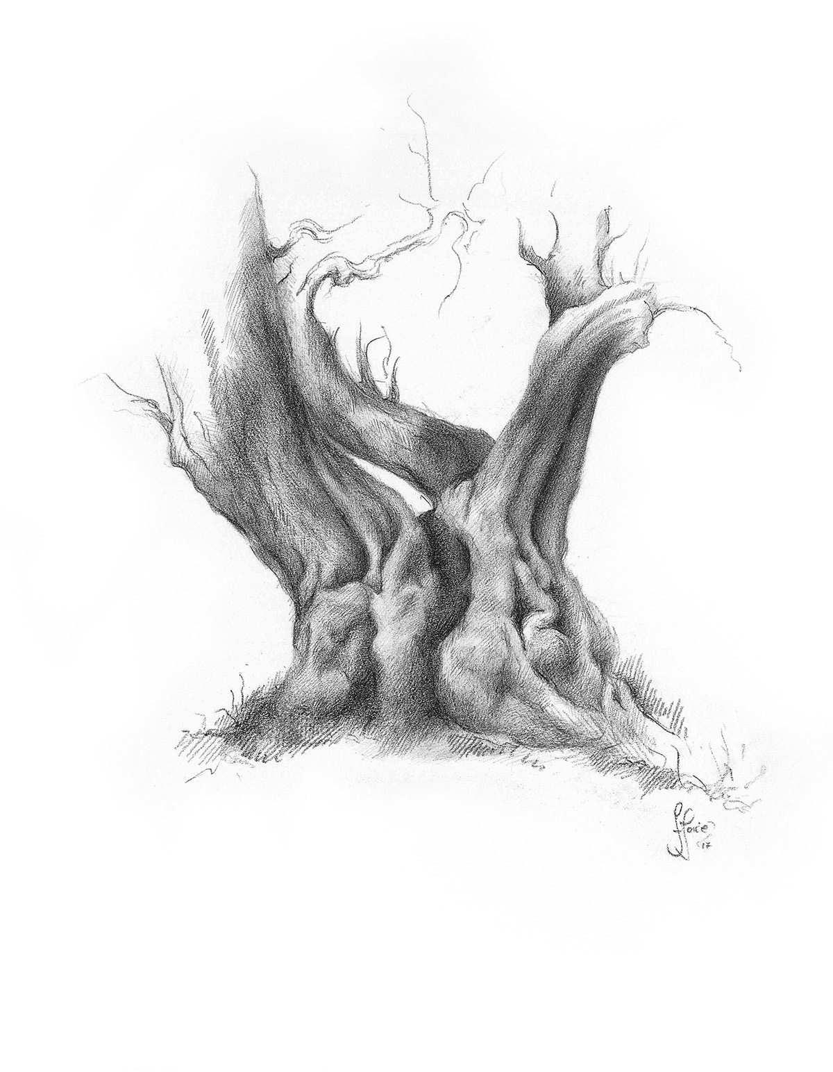 Indian bean tree (CATALPA) - Carbon pencil drawing.